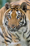 идущая вода тигра Стоковое Фото