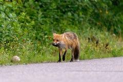 Идущая красная лиса Стоковые Изображения RF