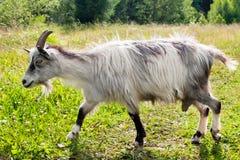 Идущая няня-коза Стоковые Фото