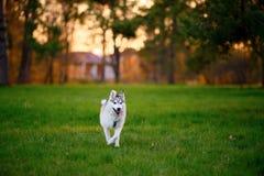 Идущая осиплая собака в солнечном парке вечера лета Стоковое Изображение RF