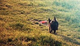 Идущая собака и игрушка Стоковое Изображение