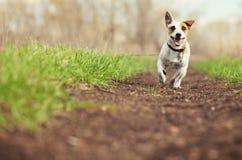 Идущая собака на лете стоковые фотографии rf