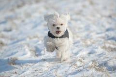 Идущая собака Стоковое Изображение