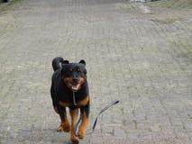 Идущая собака Стоковое Фото