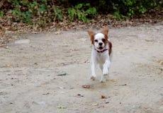 Идущая собака Стоковые Изображения RF