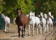 Идущие аравийские лошади Стоковые Фото