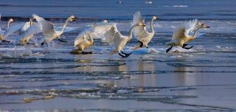 Идущие лебеди Стоковые Фотографии RF