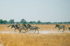 Идущие зебры Стоковые Фото