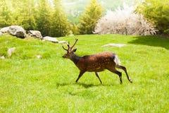 Идущие олени Стоковая Фотография RF