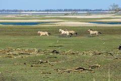 Идущие одичалые лошади Konik стоковая фотография rf