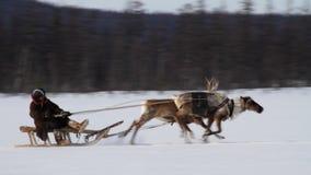 Идущие северные олени сток-видео