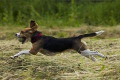 Идущие собаки бигля Стоковое Изображение RF