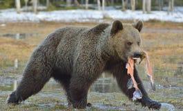 Идущий бурый медведь с рыбами стоковые фотографии rf
