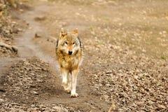 идущий волк Стоковое Изображение