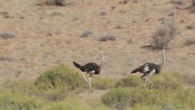 Идущий страус, camelus Struthio акции видеоматериалы