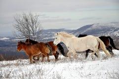 Идущий табун лошадей, в снеге, Стоковое Изображение RF