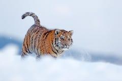 Идущий тигр с снежной стороной Тигр в одичалой природе зимы Тигр Амура бежать в снеге Сцена живой природы действия, животное опас Стоковое Фото