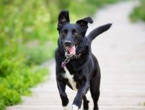 Идущий черный labrador стоковая фотография rf