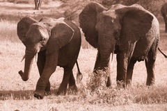 2 идущих слона Стоковая Фотография