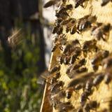 иллюстратор сота формы eps 8 дополнительный пчел Стоковые Фотографии RF