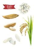 Иллюстрация акварели риса Стоковая Фотография