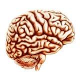 Иллюстрация анатомии человеческого мозга Стоковые Изображения RF