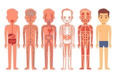 Иллюстрация вектора анатомии человеческого тела Мужские системы скелета, мышечных, циркуляторных, слабонервных и пищеварительных Стоковая Фотография RF