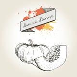 Иллюстрация вектора нарисованная рукой кусков тыквы Выгравированный овощ осени изолированный на винтажной предпосылке Стоковое Изображение RF