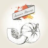 Иллюстрация вектора нарисованная рукой кусков тыквы Выгравированный овощ осени изолированный на винтажной предпосылке Стоковые Изображения
