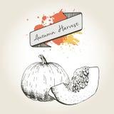 Иллюстрация вектора нарисованная рукой кусков тыквы Выгравированный овощ осени изолированный на винтажной предпосылке Стоковое Фото