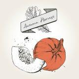 Иллюстрация вектора нарисованная рукой кусков тыквы Выгравированный покрашенный овощ осени изолированный на винтажной предпосылке Стоковые Фотографии RF