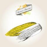 Иллюстрация вектора нарисованная рукой ударов мозоли Выгравированный овощ осени изолированный на винтажной предпосылке Стоковые Изображения
