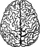 Иллюстрация вектора человеческого мозга Стоковые Изображения
