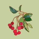 Иллюстрация вектора Rowanberry Стоковая Фотография RF
