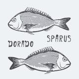 Иллюстрация вектора sparus Dorado Стоковые Изображения RF