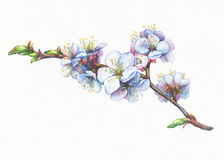 Иллюстрация ветви абрикоса с цветками иллюстрация вектора
