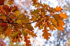 иллюстрация ветви осени выходит вектор Стоковые Изображения RF