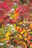 иллюстрация ветви осени выходит вектор Стоковое Фото
