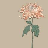 Иллюстрация винтажного †хризантемы « Стоковые Изображения