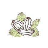 Иллюстрация гайки дерева ши Стоковое Изображение