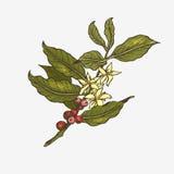 Иллюстрация дерева кофе Стоковая Фотография RF