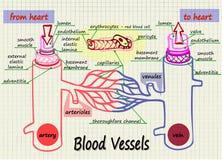Иллюстрация кровеносных сосудов человеческой крови Стоковое Фото