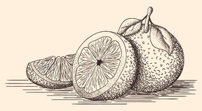 Иллюстрация нарисованная рукой апельсинов Стоковые Изображения