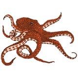 Иллюстрация осьминога Стоковые Изображения RF