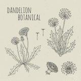 Иллюстрация одуванчика медицинская ботаническая изолированная Завод, цветки, листья, семя, комплект корня нарисованный рукой Винт Стоковые Изображения RF
