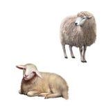Иллюстрация положения и класть овец Стоковые Фотографии RF