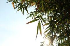 иллюстрация предпосылки bamboo выходит вектор Стоковая Фотография RF