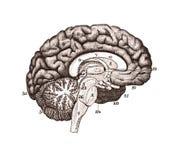 Иллюстрация разделов мозга Стоковые Фото
