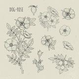 Иллюстрация розы собаки медицинская ботаническая изолированная Завод, цветки, плодоовощ, листья, рука нарисованный комплект Винта Стоковые Изображения RF