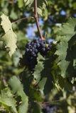 иллюстрация руки виноградины обозначает мое покрашенное оригиналом соответствующее вино виноградника Стоковое Фото